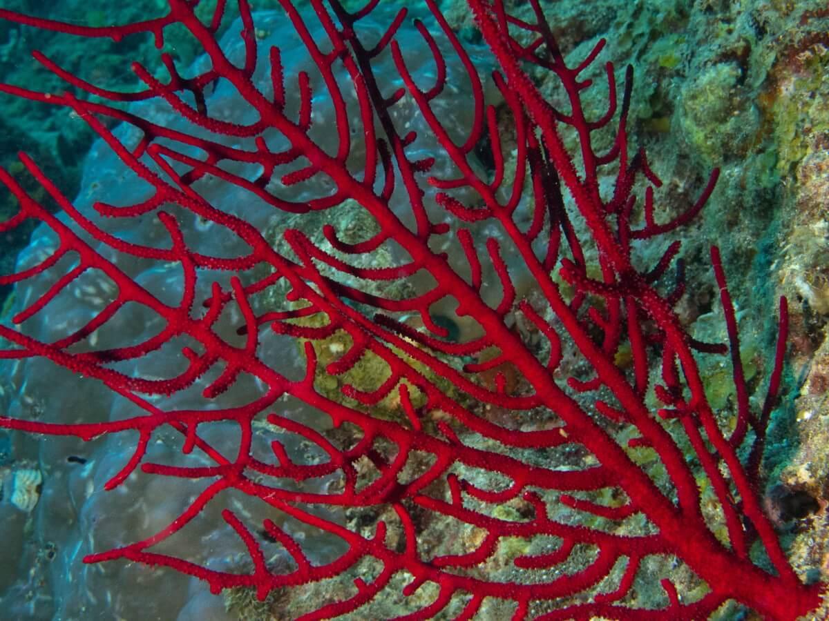 red sea fan coral
